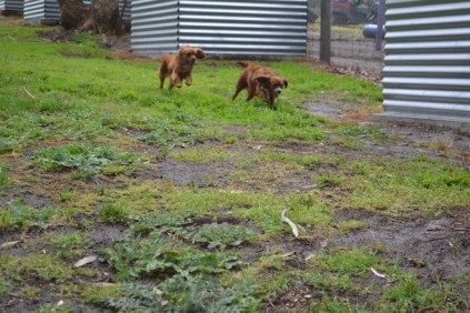 banksia-park-puppies-shayla-23-of-41