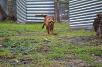 banksia-park-puppies-shayla-25-of-41