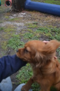 banksia-park-puppies-shayla-27-of-41