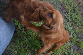 banksia-park-puppies-shayla-31-of-41