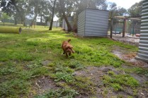 banksia-park-puppies-shayla-37-of-41