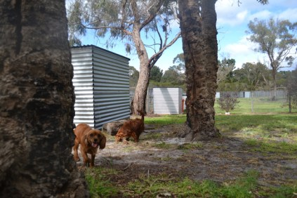 banksia-park-puppies-shayla-40-of-41