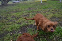 banksia-park-puppies-shayla-5-of-41