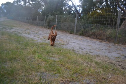 banksia-park-puppies-shiela-1-of-13
