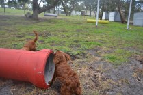 banksia-park-puppies-tanner-14-of-25