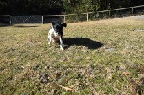 Ludo-Cavador-Banksia Park Puppies - 14 of 41