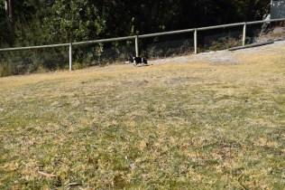 Ludo-Cavador-Banksia Park Puppies - 21 of 41