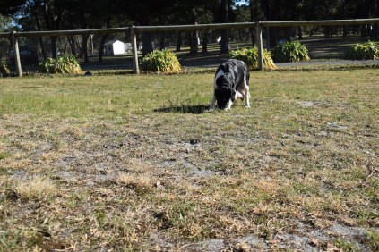 Ludo-Cavador-Banksia Park Puppies - 23 of 41