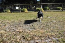 Ludo-Cavador-Banksia Park Puppies - 24 of 41