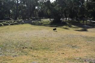 Ludo-Cavador-Banksia Park Puppies - 26 of 41