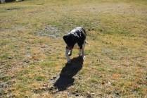 Ludo-Cavador-Banksia Park Puppies - 29 of 41