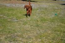 Sheila- Banksia Park Puppies - 15 of 32