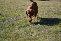 Sheila- Banksia Park Puppies - 22 of 32