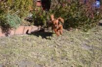 Sheila- Banksia Park Puppies - 3 of 32