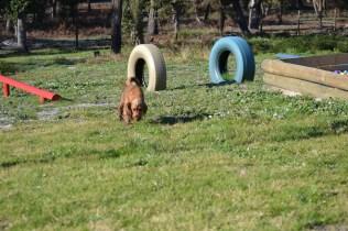 Banksia Park Puppies Jacinta - 30 of 49