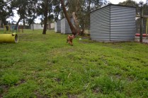 banksia-park-puppies-hailey-7-of-25