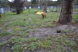 banksia-park-puppies-hannah-18-of-28