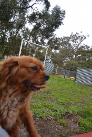 banksia-park-puppies-hannah-24-of-28