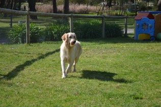 banksia-park-puppies-hunny-29-of-31