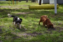 banksia-park-puppies-julsi-18-of-35