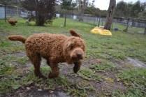 banksia-park-puppies-koko-15-of-29