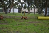 banksia-park-puppies-koko-20-of-29