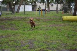 banksia-park-puppies-koko-22-of-29