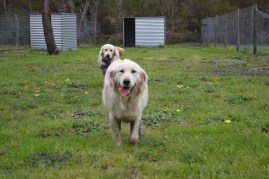 banksia-park-puppies-onnie-17-of-27