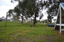 banksia-park-puppies-precious-12-of-31