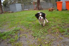 banksia-park-puppies-precious-18-of-31