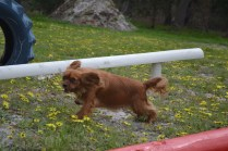 banksia-park-puppies-skyla-6-of-16
