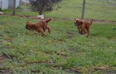 banksia-park-puppies-bunny-3-of-19