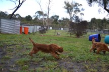 banksia-park-puppies-bunny-7-of-19
