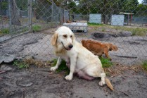 odie-banksia-park-puppies-18-of-20