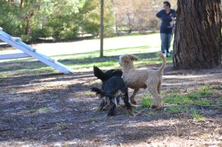 TED-poodle-Banksia Park Puppies - 10 of 19