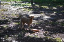 TED-poodle-Banksia Park Puppies - 18 of 19