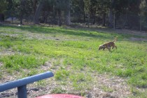 ADULT AGILITY PARK- Banksia Park Puppies - 102 of 117