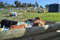 ADULT AGILITY PARK- Banksia Park Puppies - 28 of 117