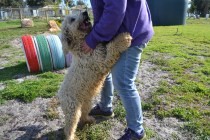 ADULT AGILITY PARK- Banksia Park Puppies - 63 of 117