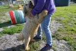 ADULT AGILITY PARK- Banksia Park Puppies - 64 of 117