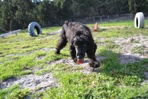 ADULT AGILITY PARK- Banksia Park Puppies - 70 of 117
