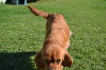 HARLOW- Banksia Park Puppies - 19 of 23