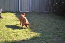 HARLOW- Banksia Park Puppies - 6 of 23