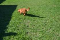 HARLOW- Banksia Park Puppies - 7 of 23