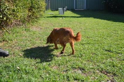 HARLOW- Banksia Park Puppies - 9 of 23