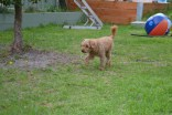 KINGSTON- Banksia Park Puppies - 4 of 16