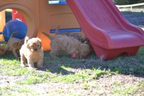 Rozelle and Pups- Banksia Park Puppies - 112 of 142