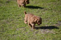 Rozelle and Pups- Banksia Park Puppies - 62 of 142