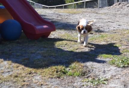 Dasha- Banksia Park Puppies - 22 of 24