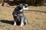 Florrie-Schnauzer-Banksia Park Puppies - 17 of 20